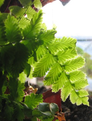 Fern_leaves_2