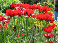 Sissinghurst_poppies