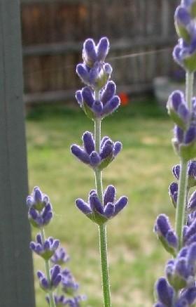 Lavenderbud2