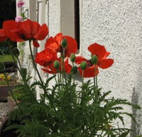 Angelas_poppies