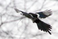Magpie_in_flight