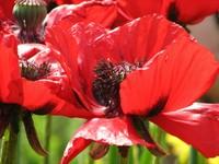 Red_poppy_1