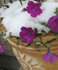 Snowy_petunia